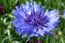 CORNFLOWER Blue ORGANIC SEED Stunning blue flower of the cornfields. Bee plant.