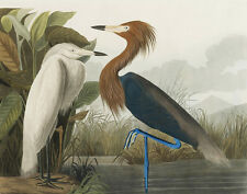 Audubon James John Purple Heron Canvas Print 16 x 20  #3525
