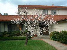 Prunus armeniaca albaricoquero. 5 semillas-cultivo Canino