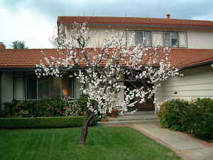 Prunus Armeniaca APRICOT  tree.  5 seeds- cultivar canino