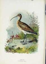 Original Old Antique Print Familiar Wild Birds C1883 Curlew Color 19th