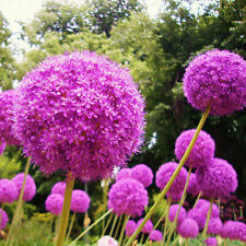 Perennial Giant Allium Giganteum Giant Magenta Purple Flower Seeds