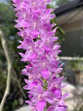Blooming Size Rhyn. Retusa X Aer. Lawrenciae, Fragrant Hybrid Vanda