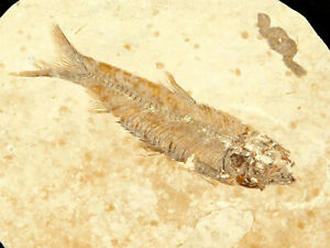 A 100% Natural Knightia Eocaena Fish Fossil From Wyoming! 68.8gr