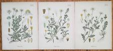 Koehler: Large Print Medicinal Plants Chamomile Anthemis 3 Prints - 1887#