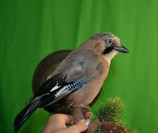 Real Taxidermy European real Jay Stuffed Colored Bird Animal