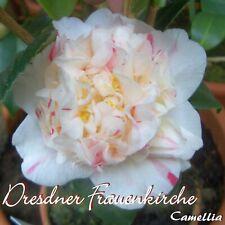 "Kamelie ""Dresdner Frauenkirche"" - Camellia - 3-jährige Pflanze"