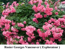 Rosier George Vancouver Explorator Rosa Rose Bush Pink Vine Seeds Gift +