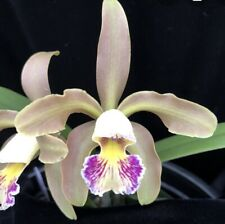 Cattleya Harem Girl schilleriana X luteola Fragrant Orchid Windowsill 2 Inch Pot