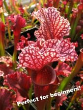 "Sarracenia ""Judith Hindle"" Pitcher Plant, 3 inch potted. Free vinyl sticker !"