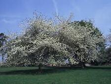 10 X WILD CHERRY Tree semi, gean (Prunus avium) Semi di Albero.