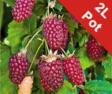 Tayberry Berry Soft Fruit Bush Shrub Outdoor Edible Garden Buckingham 2L Pot Red