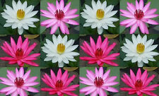 White/Pink/Red 6 night bloomer water lily tubers/bulbs