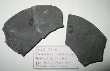 Fossilized Bivalve Paleoneilo constricta Portland Point Shale Devonian 380 myo