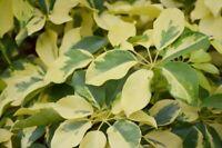 Zimmerpflanze STRAHLENARALIE großen Blätter nehmen Schadstoffe aus der Raumluft