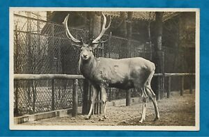 C1930s RP PC STAG AT BERLIN ZOO