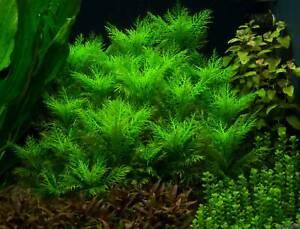 Live Aquarium Plants hygrophila balsamica