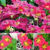 50PCS Nasturtium Flower Seeds (tropaeolum nanum) Pink Seeds
