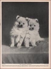 POMERANIAN PUPPIES BY CH. MONTACUTE RADIANT, vintage print, authentic 1935