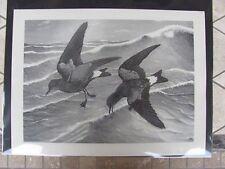 Original  Rex Brasher #106  Hand Painted   Print  Leach Petrel  #106REX2 DSS