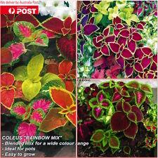 80 COLEUS 'Rainbow Mix' SEEDS(Solenostemon scutellarioides);Exotic,easy growing