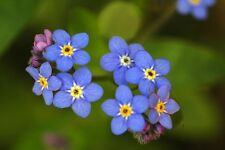 Pond plant Water Forget-me-not 25+ Seeds pond /bog plant/soil Plant