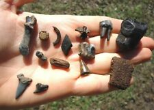 Florida Fossil Collection Tooth Teeth Fossils Jaw Bones Camel Tapir Horse Bear H