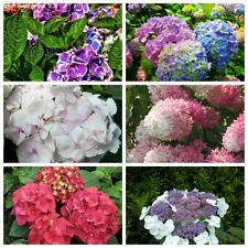 20 Hydrangea Flower Seeds Rare 30 Kinds Beautiful Perennial Garden Potted Plants