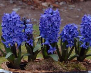 Hyacinth Blue - 7 Bulbs Per Pack 25 cm