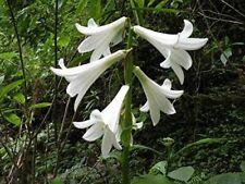 Riesenlilie Baumlilie -Cardiocrinum giganteum- 10 Samen