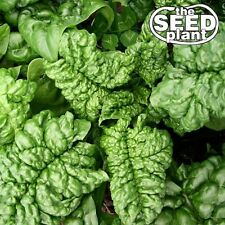 Bloomsdale Spinach Seeds 100 SEEDS-SAME DAY SHIPPING