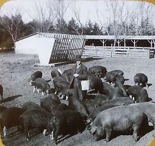 Poland China Hogs Feeding (Corn) Nebraska Ranch, Glass Photo Magic Lantern Slide