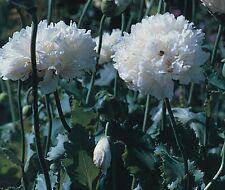 Flower - Poppy Paeoniflorum - White Cloud - 350 Seeds