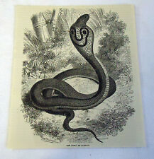 1882 magazine engraving ~ The Cobra De Capello
