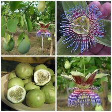 10 semi di Passiflora maliformis, frutto della passione, maracuja ,passion fruit