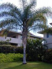 Semi freschi di Palma SYAGRUS ROMANZOFFIANA ex-Cocos plumosa
