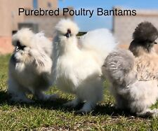 6+ Bantam hatching eggs Silkie (Show Birds)