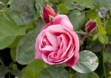 Heirloom 300 Climbing Rose Seeds Climber Pink Perennials Flower Bulk Seed Double