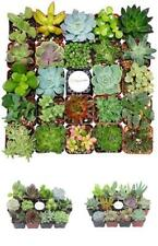Plant Fully Rooted Succulents Unique Succulent Collection of 12 2-Inch Pots Soil