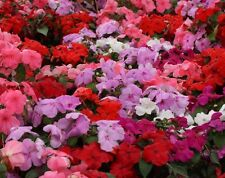 IMPATIENS MIXED COLORS Wallerana Mix Annual 25 Seeds