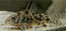 5 BEAUTIFUL PEPPERED CORY CORYDORAS PALEATUS CATFISH moss java shrimp guppy