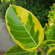 Ficus Altisimma Variegata - Golden Gem - Yellow Gem - Variegated Rubber Tree