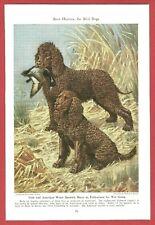 1947 Dog Print Illustration ~ Irish & American Water Spaniel Art by Walter Weber