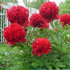 5PCS Red Peony Seeds Rare 'Mudanji' Big Blooms For Home Garden Double Petals
