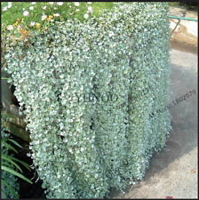 Dichondra Repens lawn Plants Hanging Decorative Bonsai Rare 2021 M 100 PCS Seeds