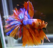 <Have video> BETTA FISH CANDY NEMO ROSE TAIL HALF MOON (HM) MALE
