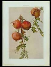 Melograno - 1910 photolithograph-Roberto Franzoni