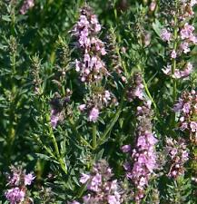 Pink Hyssop garden border herb plant pink flowers summer loved by bees 9cm