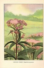 "1926 Vintage WILD FLOWER ""JOE PYE WEED"" GORGEOUS COLOR Art Print Lithograph"