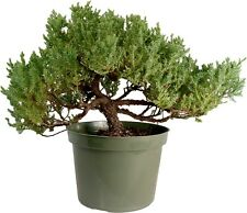 1 Dozen Large  Japanese Dwarf  Juniper - procumbens nana Bonsai